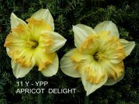 Narcissus  'Apricot Delight' - narcyz