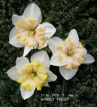 Narcis Apricot Frost - Papillon narcisy (Narcissus x hybridus)