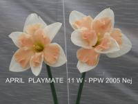 Narcissus  'April Playmate' - narcyz