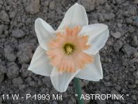 Narcis Astropink - Collar narcisy (Narcissus x hybridus)