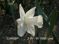 Narcissus  'Canisp' - narcyz
