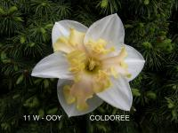 Narcissus 'Coldoree'  narcyz kwiaty