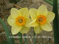 Narcis Cosming Dance (Narcissus x hybridus)