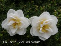 Narcis Cotton Candy (Narcissus x hybridus)