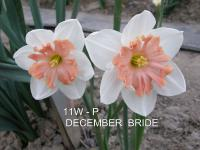 Narcis December Bride (Narcissus x hybridus)