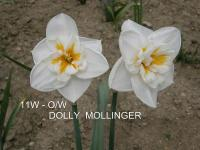 Narcissus  'Dolly Mollinger' - narcyz