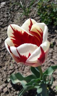 Tulipán Grand Perfection (Tulipa x hybrida)