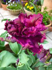 tulipan Tulipa  'Green Wave'