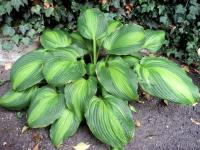 Bohyška 'Hollywood Lights' (Hosta)