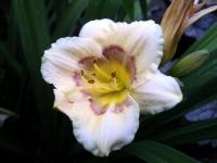 (Hemerocallis hybrida) Denivka 'All American Baby'